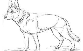 Советы о том, как нарисовать немецкую овчарку