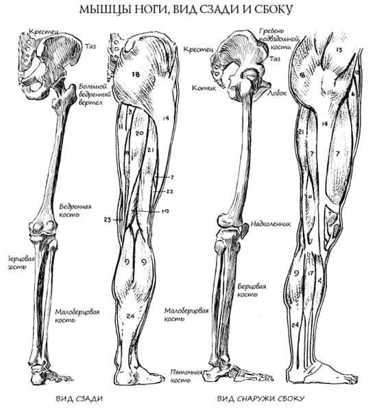 Анатомия ног человека. Как рисовать ноги?